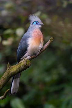 Coua cristata by Nicole M.T #Birds #Cuckoo #Coua