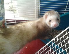 Winston is an #adoptable Ferret  with Heart of Ohio Ferret Association and Rescue in #Columbus, #Ohio --Hi. My name is Winston. I am 1.5 years old.  I am having a great time here with my foster dad but would really like to go to a new forever home to be loved and cuddled by a new mom or dad.  Please pick me - I will make you laugh so hard!!! I am...