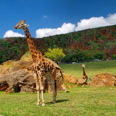 #giraffe #cabarceno #cantabria #spain