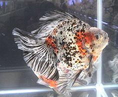 Calico Ryukin Goldfish | ... Calico fantail goldfish)金魚の種類 | 金魚の世界 - goldfish