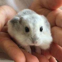 . . ほっぺにいっぱいペレット。 . #ウィンターホワイトハムスター #hamstagram #ジャンガリアンハムスター #ブルーサファイア #ふわもこ部 Robo Dwarf Hamsters, Hamster Breeds, Roborovski Hamster, What Is Cute, Guinea Pigs, Rats, Animals And Pets, Cute Babies, Kittens