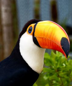 Toco toucan (Ramphastos toco) Photo by Pedro Henrique Evangelista Tropical Birds, Exotic Birds, Colorful Birds, Pretty Birds, Beautiful Birds, Toco Toucan, All Birds, Big Bird, Bird Pictures