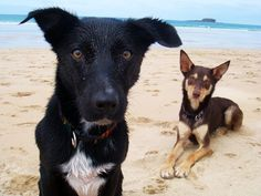 Beach Kelpies Australian Sheep Dogs, Mini Poodles, Medium Sized Dogs, Colour Photography, New Puppy, Working Dogs, Border Collie, Seas, Summer 2014