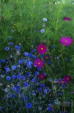 Nevädza (Centaurea cyanus) a Krasuľka perovitá (Cosmos bipinnatus)