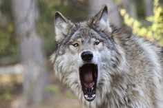 Grizzer-yawning-at-the-International-Wolf-Center-91719347421.jpeg (720×480)