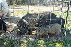 As livestock, Potbellies can be extremely efficient. They have a diet that includes almost anything organic. They have litters of 6-12 and a reproductive age of up to 10 years. They require minimal care if adequately pastured. They have the necessary instincts and high birth rate to be very efficient for small scale, homestead organic pork.