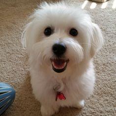 Coton de Tulear Breeders - Coton de Tulear Puppies