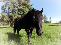 Canadain Horse Stallion Canadian Horse, Black Canadians, Horses For Sale, Equestrian, Ranch, Animals, Horses, Guest Ranch, Animales