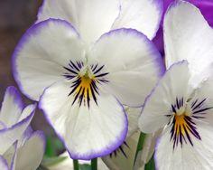 pansies a delicate flower like my best friend