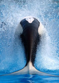 Found in all oceans of the world, orcas are most common in the Arctic and Antarctic and are often spotted off the west coast of the United States and Canada. Orcas are found in both coastal waters and open ocean.