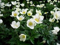 Anemone sylvestris Anemone from E.C. Brown's Nursery