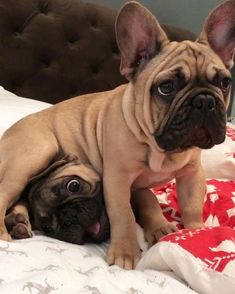 """I swear Mom, we are just playing!!"", Funny French Bulldog Puppies"