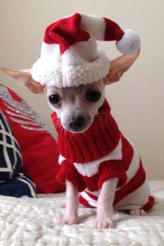 Chihuahua Cute Chihuahua, Teacup Chihuahua, Chihuahua Puppies, Dog Sweaters, Christmas Animals, Christmas Dog, Christmas Suit, Chiwawa, Cute Cats And Dogs