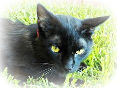 Pictures of Mista Luva a Domestic Shorthair for adoption in Ocean Springs, MS who needs a loving home.