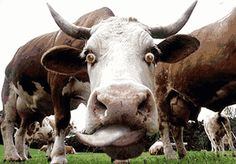 funny cows - Google Search