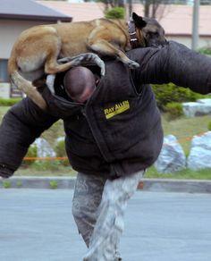Belgian Shepherd, German Shepherds, Belgium Malinois, Military Working Dogs, Herschel Heritage Backpack, Law Enforcement, Warriors, Amazing, Animals