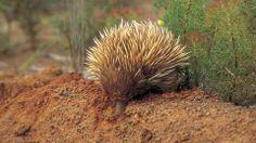 Wildlife and Environment - Kangaroo Island, South Australia Echnida
