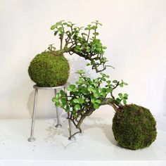 """Cascade #crassula #bonsai #kokedama -- with or without stand, but best in pair :) #plantporn #labgear #officedecor"""