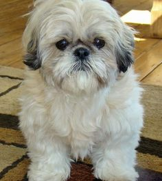 Tyla the Shih Tzu