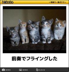 前奏でフライングした - ネコへのボケ[67153919] - ボケて(bokete) Norwegian Forest Cat, Kittens, Cats, Funny Images, Animals And Pets, Creatures, Kawaii, Humor, Cool Stuff