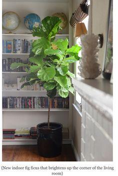 Indoor fig
