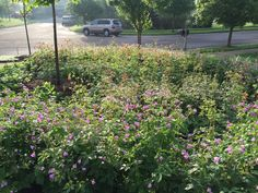 Second year native perennial bed in front yard. Wild Geranium (purple), Columbine (Red & Yellow), Big Leaved Aster (will flower in August and September). Wild Geranium, Aster, Native Plants, Geraniums, Perennials, Nativity, Beds, September, Yard