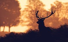 evening stag by Mark Bridger