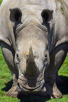 Patrick Glaume - En face - Rhinocéros blanc - Ceratotherium simum