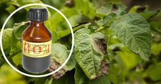 Se pare că iodul salvează nu doar genunchii juliți, dar și roada de dăunători! Acesta poate trata plantele de fitoftoroză și de mucegaiul alb, previne apariția putregaiului rădăcinilor și al fructelor și sporește roada… Echipa noastră vă prezintă unele informații prețioase despre avantajele iodului pentru plante. Iodul pentru plante Iodul joacă un rol important în procesul de creștere a plantelor și în procesele lor fiziologice. Participă la sinteza aminoacizilor și a proteinelor (face parte… Chicken Pesto Panini, Gelatin Recipes, Paper Bouquet, Samos, Chrysanthemum, Christmas Pictures, Hot Sauce Bottles, Purple Flowers, Vegetable Garden