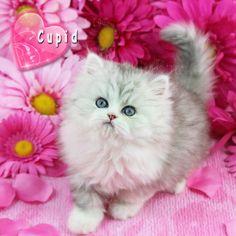 Silver Bi-Color Persian Kitten Call 772-460-1795 www.TeacupPersianKittens.com www.PreciousKittens.com #cat #cats #persiancats #persiankittens #persiankittensforsale #teacuppersiankittens #teacuppersiankittensforsale #dollfacepersian #dollfacepersians