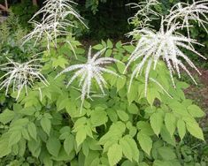 Learn about goatsbeard and how to use it in the garden.