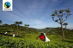 Workers gather tea on the Fairtrade certified Burnside Tea Estate in India. A new and updated Fairtrade Hired Labour Standard will bring greater benefits to the over 170,000 workers on plantations and estates throughout the Fairtrade system.  #Fairtrade