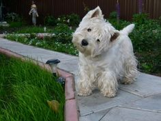 That classic head tilt that i just can't resist when i talk to my Westies...