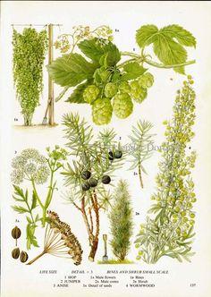 Hops Juniper Anise Wormwood Flower Food Plant Food Chart Botanical Lithograph Illustration For Your Vintage Kitchen. $10.89, via Etsy.