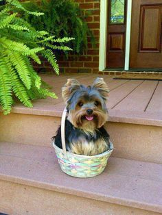 Yorkie in a basket!