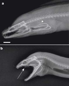 Radiograph of a moray eel- instead of just swallowing like a normal creature, they propel a second jaw forward to grasp their prey and drag in down into their throats.