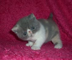 Someday I want a little exotic kitty...so cuuuuute!