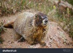 Marmot AKA Whistle Pig Rodents, Brown Bear, Animals, Animales, Animaux, Animal, Animais