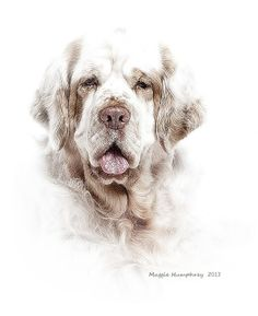 Portrait of mature Clumber Spaniel. Clumber Spaniel dog art portraits, photographs, information and just plain fun. Also see how artist Kline draws his dog art from only words at drawDOGS.com #drawDOGS http://drawdogs.com/product/dog-art/clumber-spaniel-dog-portrait-by-stephen-kline/