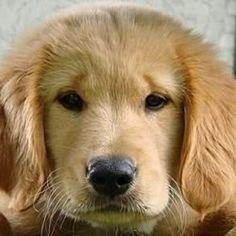 The precious face of a Golden Retriever puppy