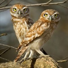 little owl brothers by Roie Galitz