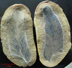 Macroneuropteris scheuchzeri uploaded in Fossil Plants: [i][b]Macroneuropteris scheuchzeri[/b][/i] Carboniferous Pennsylvanian Period Francis Creek S...