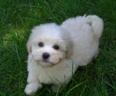 Bichon Havanais, IF we ever find The time to race a dog.
