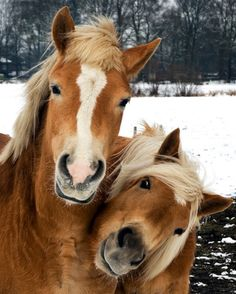 Haflinger Horses - Come on give us a treat!
