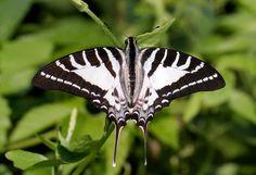 Butterflies of India - Chain swallowtail (Graphium aristeus)