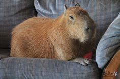 Hey y'all! This is a capybara chilling on a couch. If you didn't already know, a capybara is basically a giant hamster. In about 2 minutes you will really, REALLY want one.