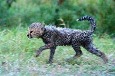 Chetah cub