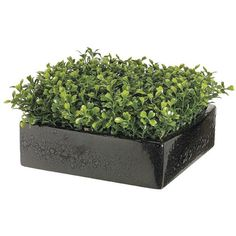 Boxwood in Square Dish ($40) ❤ liked on Polyvore featuring home, home decor, floral decor, plants, fillers, green, accessories, black fillers, green home decor and black square dishes