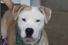 Greenville, SC NAME: Trudysdale ANIMAL ID: 24629747 BREED: Pit SEX: female EST. AGE: 2 yr Est Weight: 56 lbs Health: heartworm pos Temperament: dog friendly, people friendly. ADDITIONAL INFO: RESCUE PULL FEE: $49 Out of time