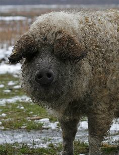 Hungarian Mangalica pig, Hortobágy